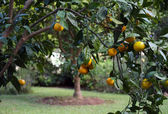 Satsuma Tree with Fruit — Stock Photo
