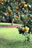 Satsuma or Tangerine Tree in Soft Outdoor Light — Stock Photo