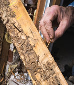Closeup of Man's Hand Showing Live Termite and Wood Damage — Stock Photo