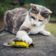 Calico Cat Holding Dead Hooded Warbler Song Bird with Its Paw — Stock Photo