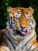 Funny tiger — Stock Photo
