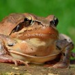 Agile frog — Stock Photo
