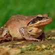 Stock Photo: Agile frog