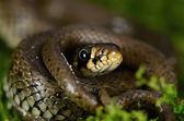 Herbe-serpent — Photo