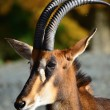 Royalty-Free Stock Photo: Roan antelope