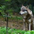Grey wolf - Stock Photo