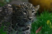 Leopard baby — Stock Photo