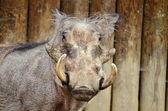 Wart hog — Stock Photo