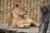 Female leo — Stock Photo