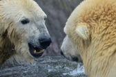 море медведь — Стоковое фото
