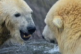 Deniz ayısı — Stok fotoğraf