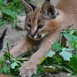 Caracal — Stock Photo