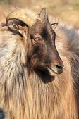 Himalayan tahr — Stock Photo