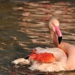 Stock Photo: Greater Flamingo