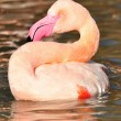 Greater Flamingo — Stock Photo #41785665