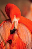 American Flamingo — Stock Photo