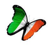 Irish flag butterfly flying, isolated on white background — Stock Photo
