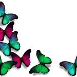 Постер, плакат: Vinous blue green morpho butterflies isolated on white backgrou