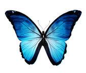 Morpho blauer schmetterling, isoliert auf weiss — Stockfoto