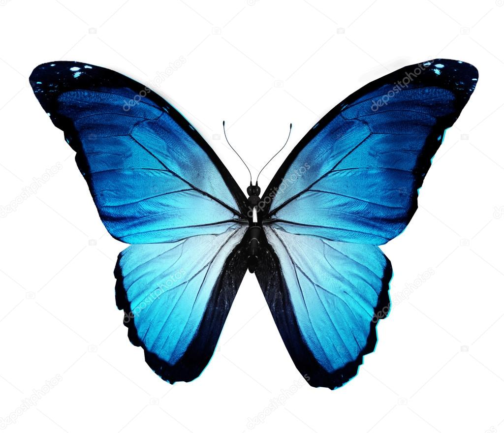 Morpho blue butterfly , isolated on white — Stock Photo #12707713