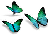 Three turquoise butterfly, isolated on white background — Stock Photo