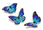 Three turquoise blue butterflies, isolated on white background — Stock Photo