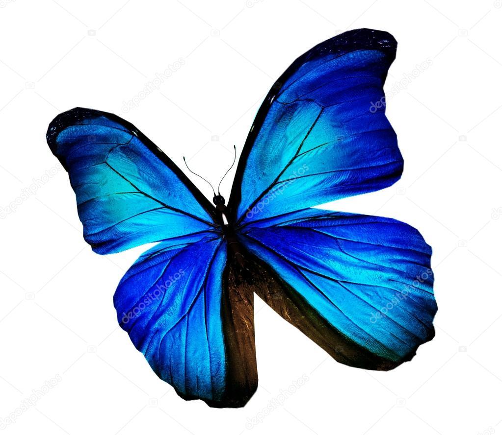 Mariposa Morpho azul turquesa aislado en blanco — Foto de
