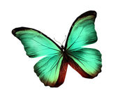 Morpho green turquoise butterfly , isolated on white — Stock Photo