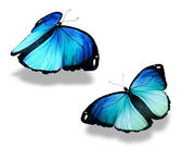 Two blue butterflies, isolated on white background, concept of meeting — Stock Photo