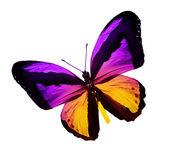 Violet gelb schmetterling, isoliert auf weiss — Stockfoto