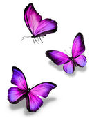 Three violet butterflies, isolated on white — Stock Photo