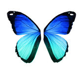 Morpho blue butterfly wings, isolated on white — Stock Photo