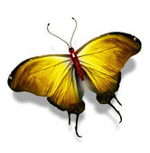 Yellow butterfly , isolated on white — Stock Photo