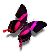 Pink and black butterfly — Stockfoto