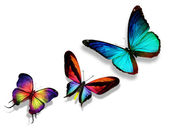 "Three color butterflies""morpho"", — Stock Photo"