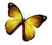 Morpho golden butterfly — Stock Photo