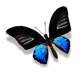 Black and blue butterfly — Stock Photo