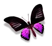 Black and purple butterfly — Stock Photo