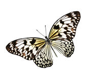 Withe butterfly — Stock Photo