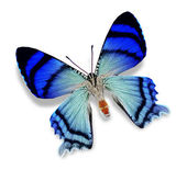 Blue butterfly — Foto Stock