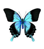 Blue and black butterfly — Stock Photo