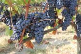 Growing grape — Stockfoto