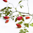 Stock Photo: Rose hip (RosCanina)