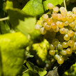 Stock Photo: Organic white grapes (Vitis vinifera)
