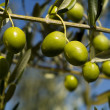 The olives (Olea europaea) — Stock Photo