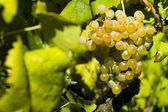 The organic white grapes (Vitis vinifera) — Stock Photo