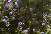 Hummingmoth (Macroglossum stellatarum) — Stock Photo