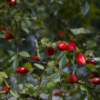Rose hip (Rosa Canina) — Stock Photo #14060599