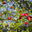 Rose hip (Rosa Canina) — Stock Photo #14060639