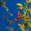 Rose hip (Rosa Canina) — Stock Photo #14060678